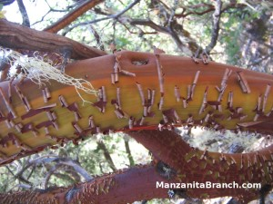 Manzanita Bark Shedding