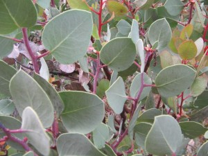 Manzanita Leaves