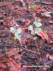 Manzanita Seedlings