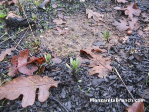 Sprouting Manzanita Seedlings