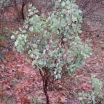 Manzanita Plants